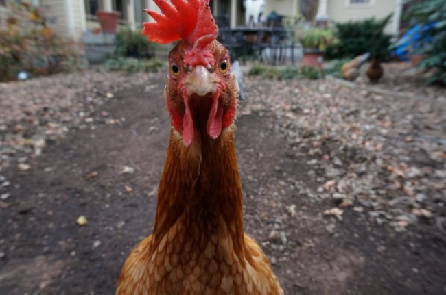 Antibiotic resistance and chicken