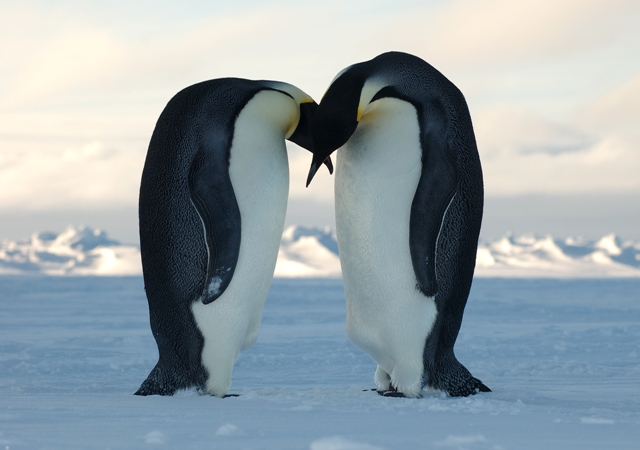 Emperor Penguins Perform Mass Dance to Stay Warm