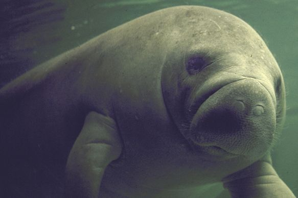 Manatees Have Bad Year in 2013