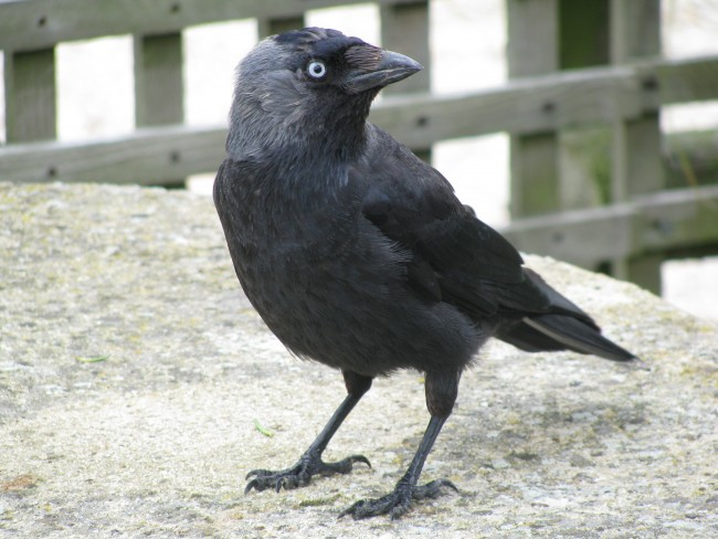 Jackdaws Revealed as First Bird Species to Communicate With Their Eyes
