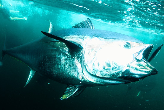 Tuna Exposed to Oil and Toxins Suffer Cardiac Arrest