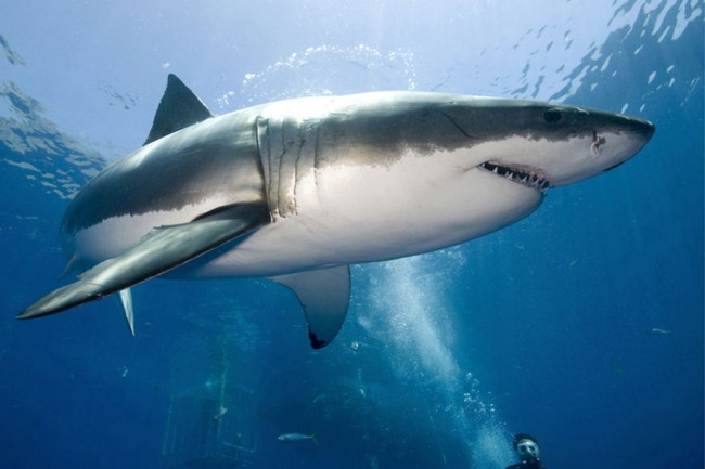 Lydia the Great White Shark May Be  Heading To the UK