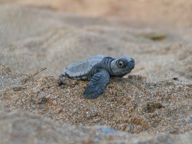 Sea Turtles Turning Female With Warmer Climate
