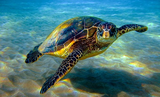 Sea Turtle Female Population Is Growing With Global Warming Trends
