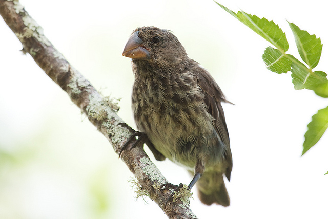 Darwin's Finches Show How Genes Shape Evolution