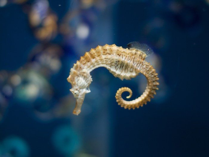 Tails of Seahorses Inspire Robotics [Video]