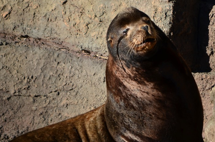 Silent Knight the San Francisco Zoo's Blind Sea Lion Dies