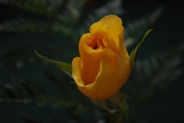 Some Congress Members Are Wearing Yellow Roses: Why?