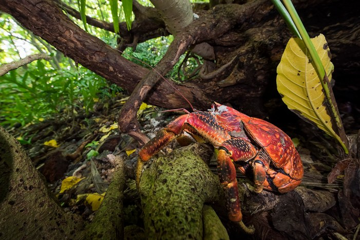 Coconut Crabs 'Talk' While Mating