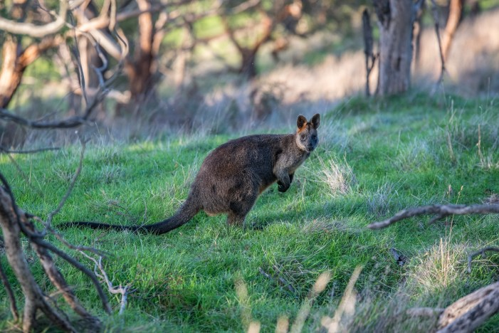 Swamp Wallabies the Only Animal That Stays Pregnant