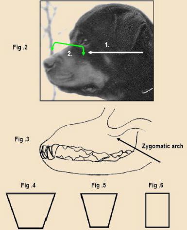 rott head zygomatic arch