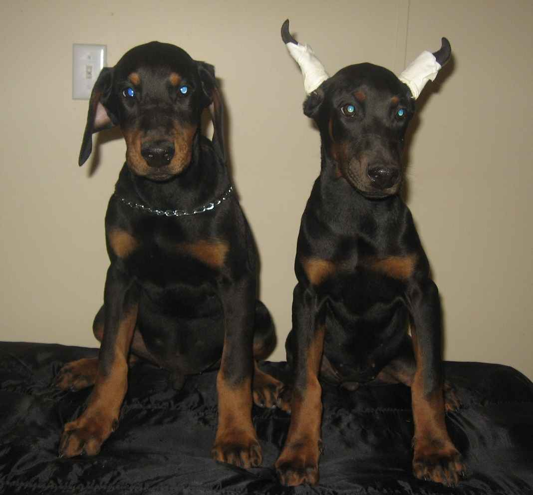 All our Dobermans are guaranteed to be free of the Vicious white doberman Z lines gene No Vwd