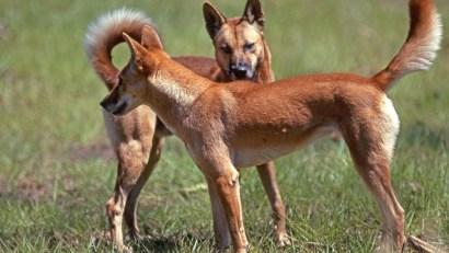 Canis lupus, dingo, Australia