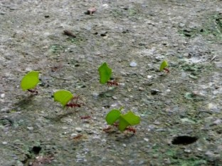 ant family carrying leaves