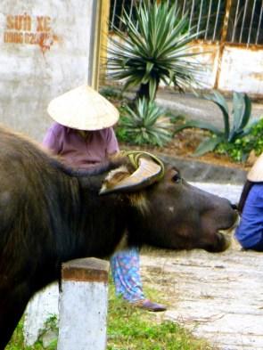guarding the buffaloe