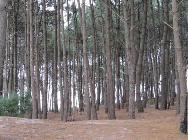 Los pinos