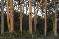 Regenbogeneukalyptus - zur Abwechslung mal vor Hana