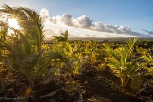 Hier war einmal der grösste und schönste schwarze Lavastrand der Welt, jetzt gibt es hier nur noch Lava - und Palmen, die von den Bewohnern von Kalapana, das gleichzeitig mit dem Strand ausgelöscht wurde, als Erinnerung gepflanzt wurden