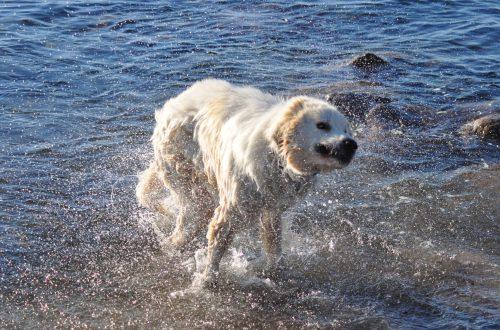 Pyrenäenberghund nass