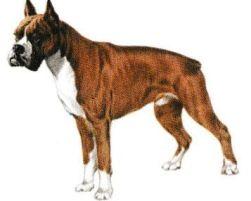 Le Boxer. Jacques magnétiseur guérisseur animaux.