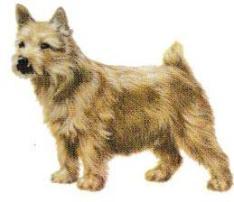 Norwich Terrier. Jacques Magnétiseur Animaux Guérisseur