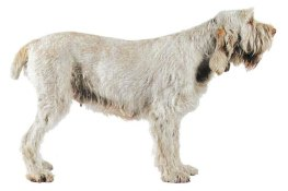 Spinone 001