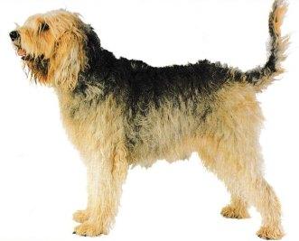 Otterhound 001
