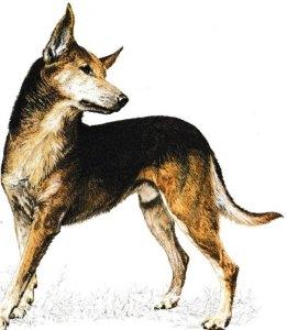 Jacques magnétiseur énergéticien pour les animaux. Découvrir le chien de race Kelpie.