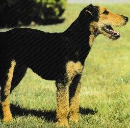 Jacques magnétiseur énergéticien pour les animaux. Découvrir le chien de race Jagdterrier.