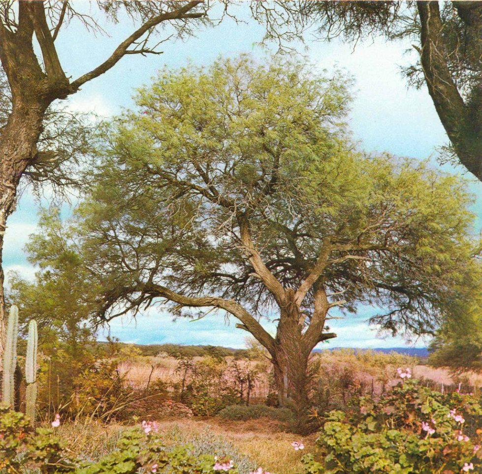 white carob tree