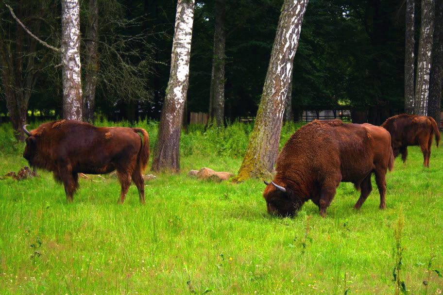 Wisent (European bison) grazing at a national park in Poland