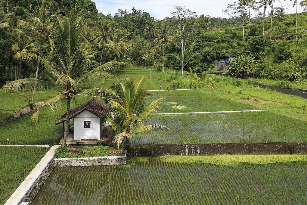 A rice paddy in Bali, Indonesia