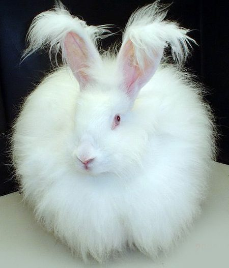Angora rabbits are one of the oldest types of domesticated rabbit, which is bred for its fluffy coat.