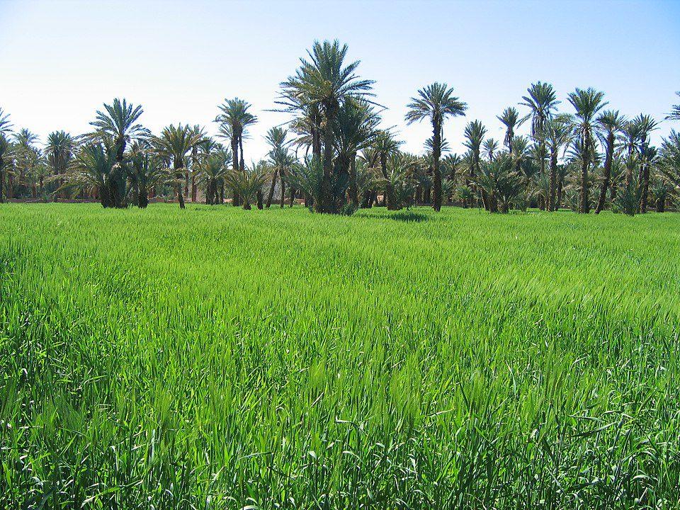 Barley field in an oasis