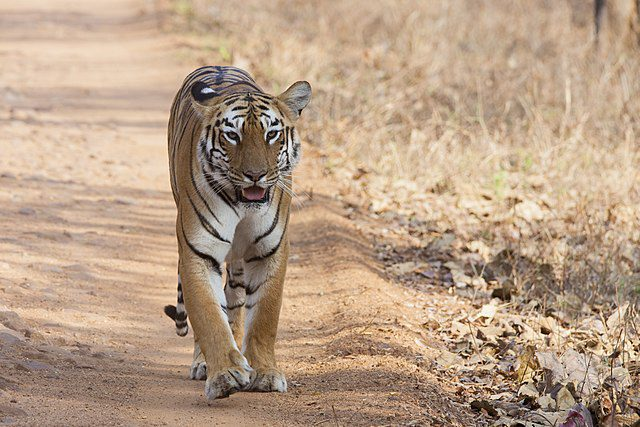 India has the majority of the world's wild tigers.