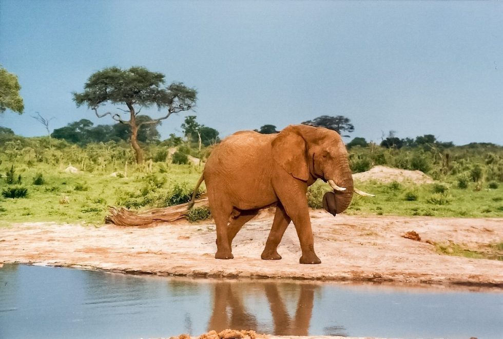 An elephant visiting a water hole in Zimbabwe