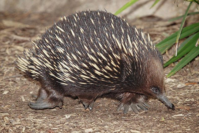The short-beaked echidna lays eggs.