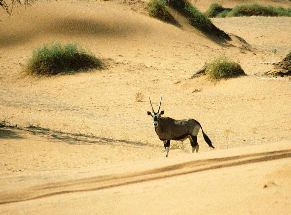 A gemsbok (oryx gazelle) in the Namib Desert