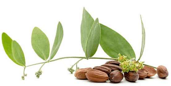 jojoba oil sustainable oil