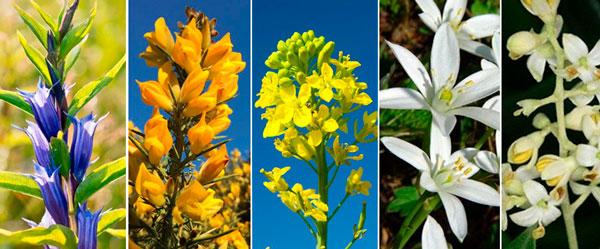 Florais de Bach para Depressão - Gentian, Gorse, Mustard, Star Of Bethlehem e Olive