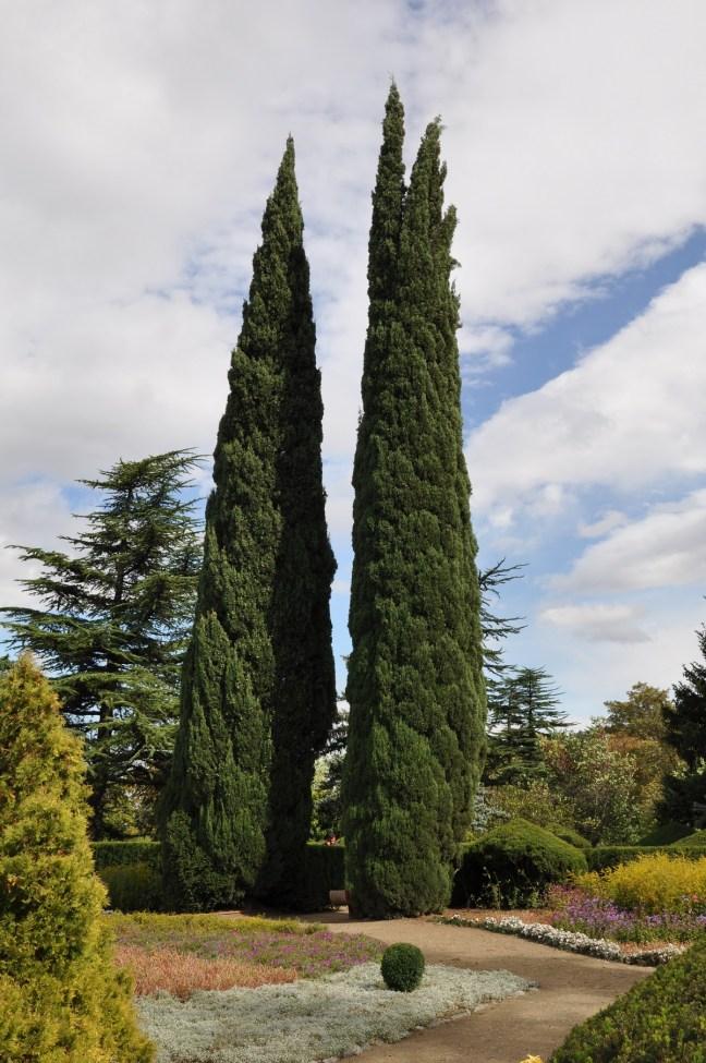 Cipreste Italiano: Saiba Tudo Sobre Essa Árvore