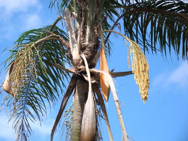 Jerivá: Um Guia Completo Sobre Essa Palmeira