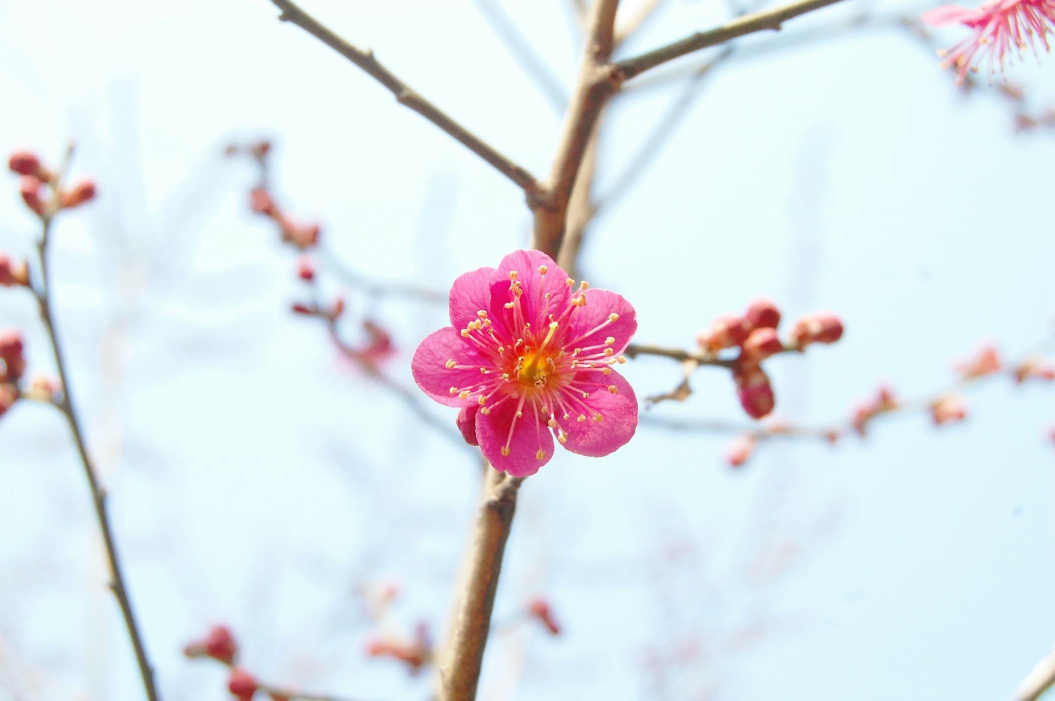 Flores Japonesas Las 10 Más Bonitas Y Su Significado En Español