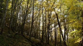 Bosque de Abedules