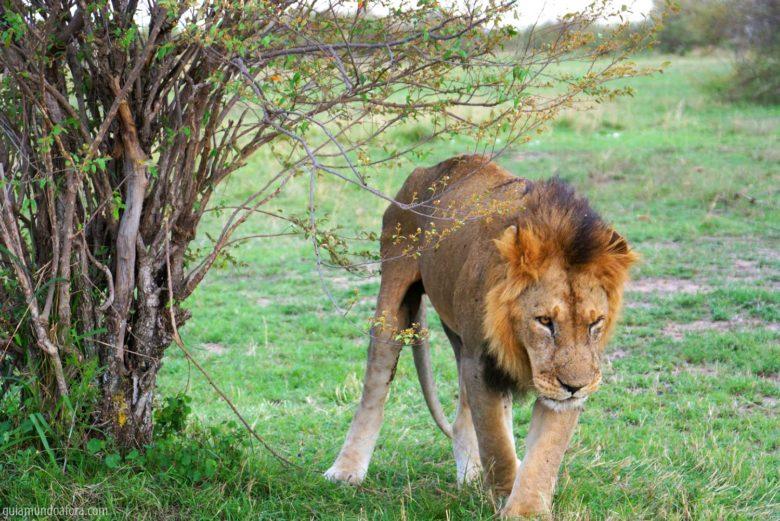 Leão em safari na África