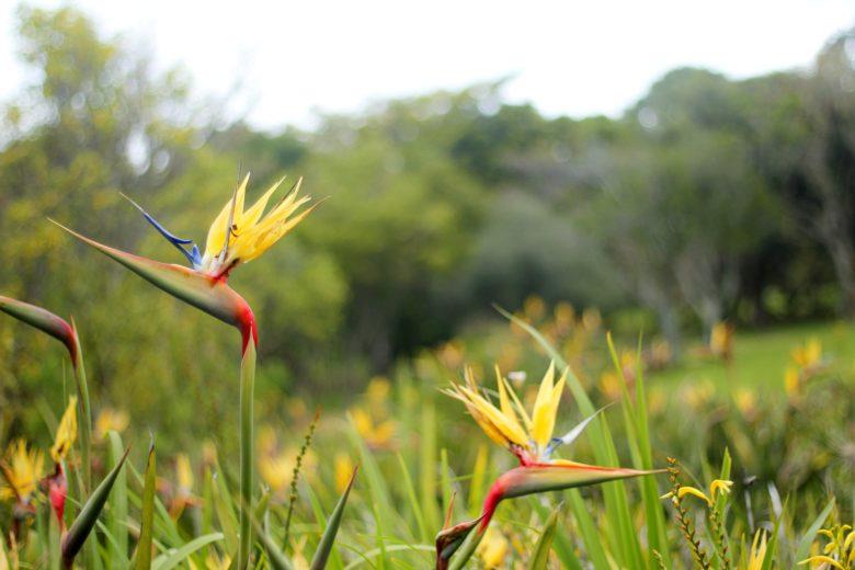 estrelícia no Jardim botânico de Cape Town