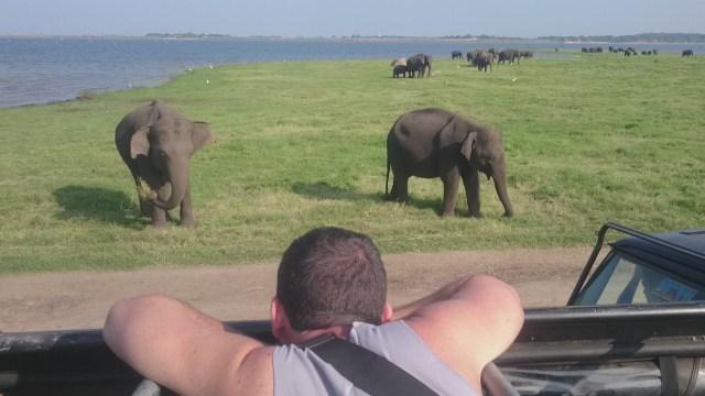 Elefantes jóvenes comiendo hierba.