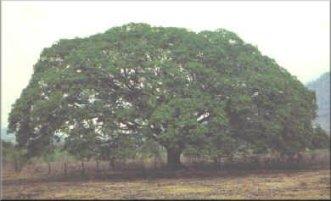 El Guanacaste – Árbol Nacional