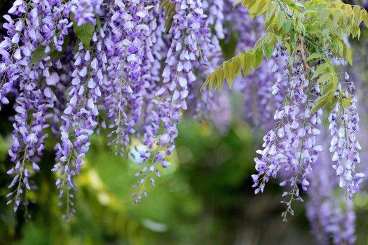 fioritura glicini giardino san michele guida trieste sabina viezzoli bora