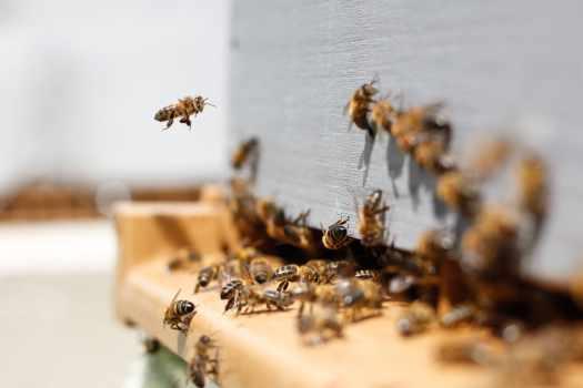 apicultura urbana api in città trieste giornata mondiale api